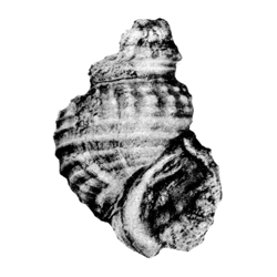Pyrgulifera