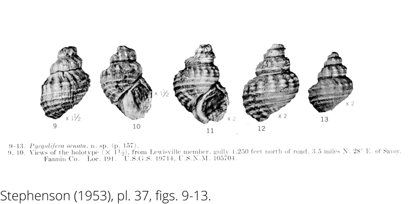 <i> Pyrgulifera ornata </i> from the Cenomanian Woodbine Fm. of Texas (Stephenson 1953).