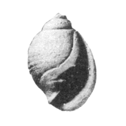 Ringiculidae