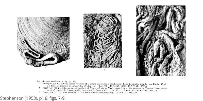 <i> Serpula implicata </i> from the Cenomanian Woodbine Fm. of Texas (Stephenson 1953).
