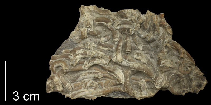 <i> Serpula semicoalita </i> from the Turonian Carlile Shale Fm. of Osborne County, Kansas (FHSM 58898).