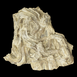 Serpula tenuicarinata