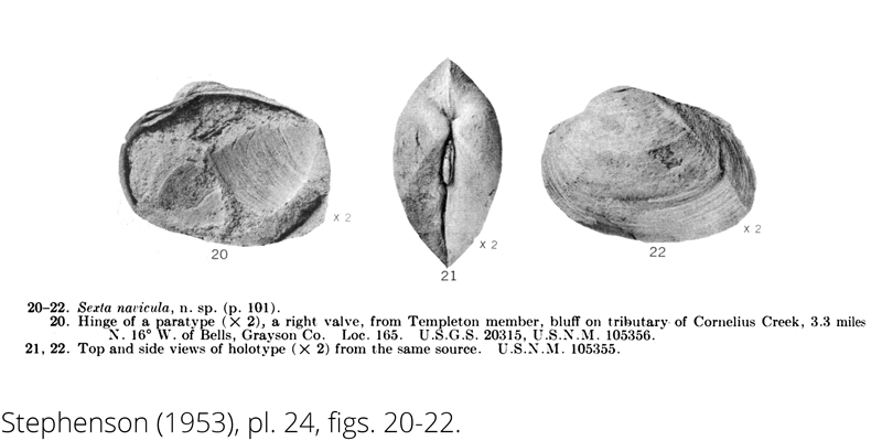 <i> Sexta navicula </i> from the Cenomanian Woodbine Fm. of Texas (Stephenson 1953).