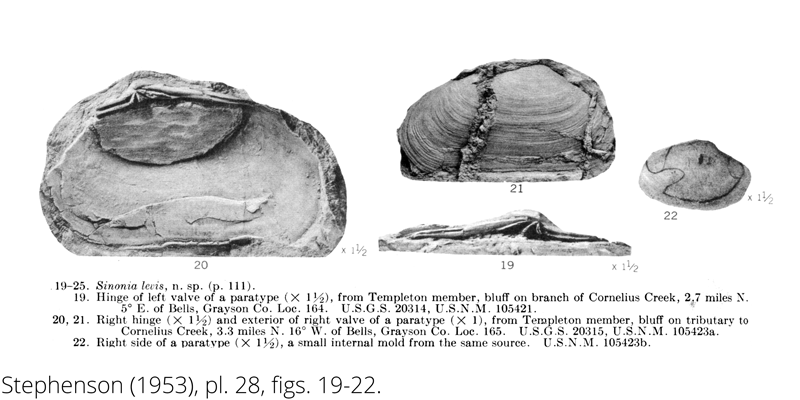 <i> Sinonia levis </i> from the Cenomanian Woodbine Fm. of Texas (Stephenson 1953).