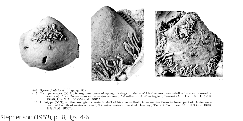 <i> Specus fimbriatus </i> from the Cenomanian Woodbine Fm. of Texas (Stephenson 1953).