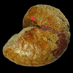 Stenzeloceras