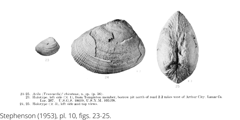 <i> Acila chicotana </i> from the Cenomanian Woodbine Fm. of Texas (Stephenson 1953).