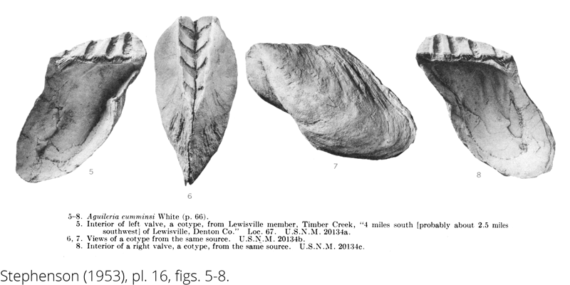 <i> Aguileria cumminsi </i> from the Cenomanian Woodbine Fm. of Texas (Stephenson 1953).