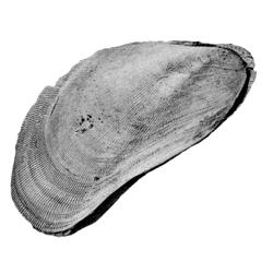 Brachidontes filisculptus