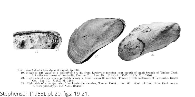 <i> Brachidontes filisculptus </i> from the Cenomanian Woodbine Fm. of Texas (Stephenson 1953).