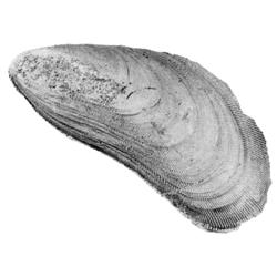 Brachidontes filisculptus microcostae