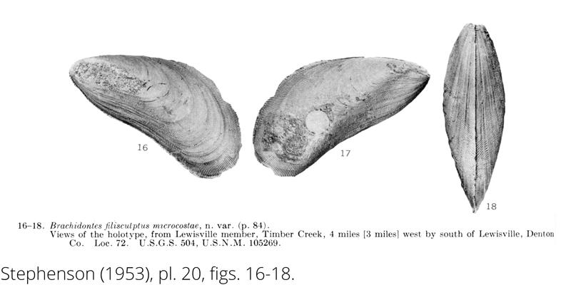 <i> Brachidontes filisculptus microcostae </i> from the Cenomanian Woodbine Fm. of Texas (Stephenson 1953).