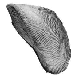 Brachidontes fulpensis