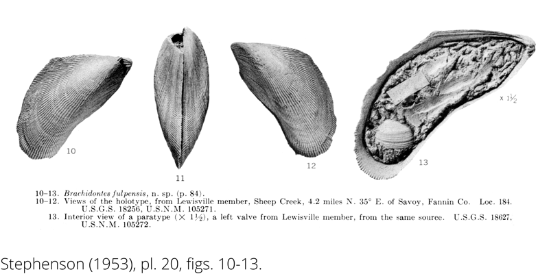 <i> Brachidontes fulpensis </i> from the Cenomanian Woodbine Fm. of Texas (Stephenson 1953).