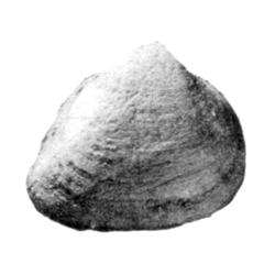 Breviarca minor