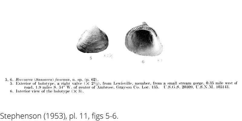 <i> Breviarca faucana </i> from the Cenomanian Woodbine Fm. of Texas (Stephenson 1953).