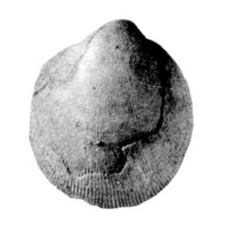 Crenella subcircularis