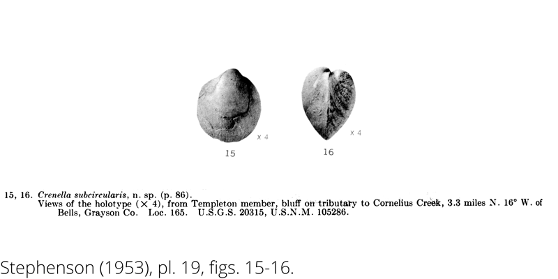 <i> Crenella subcircularis </i> from the Cenomanian Woodbine Fm. of Texas (Stephenson 1953).