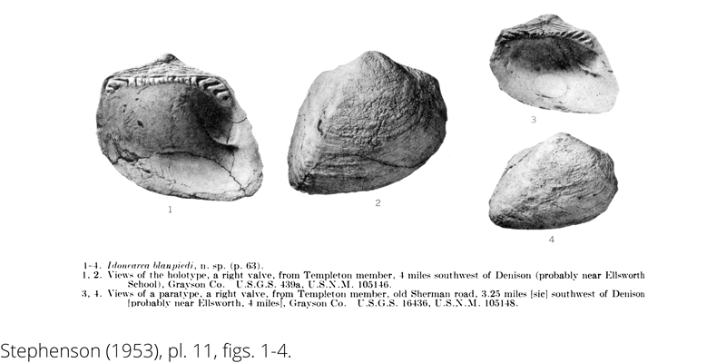 <i> Idonearca blanpiedi </i> from the Cenomanian Woodbine Fm. of Texas (Stephenson 1953).