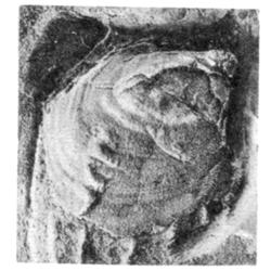 Inoceramus fragilis