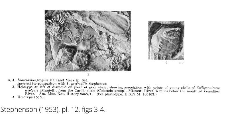 <i> Inoceramus fragilis </i> from the Cenomanian Woodbine Fm. of Texas (Stehenson 1953).