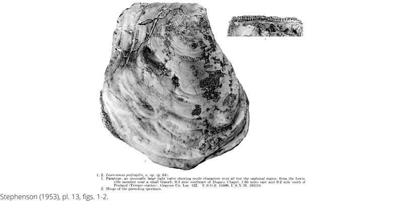 <i> Inoceramus prefragilis </i> from the Cenomanian Woodbine Fm. of Texas (Stephenson 1953).