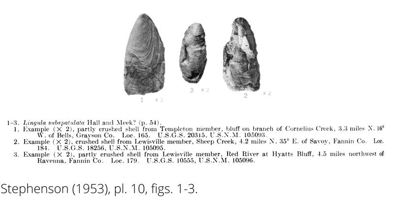 <i> Lingula subspatula </i> from the Cenomanian Woodbine Fm. of Texas (Stephenson 1953).