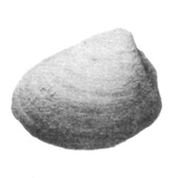 Nucula rivulana