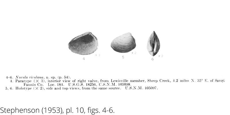 <i> Nucula rivulana </i> from the Cenomanian Woodbine Fm. of Texas (Stephenson 1953).