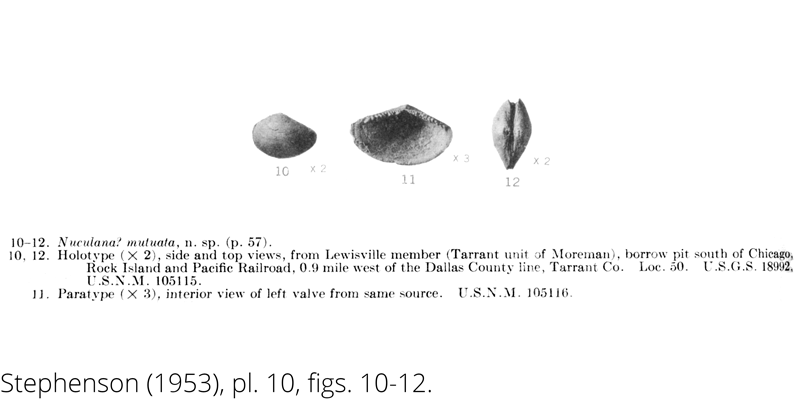 <i> Nuculana mutuata </i> from the Cenomanian Woodbine Fm. of Texas (Stephenson 1953).