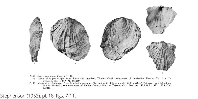 <i> Ostrea subradiata </i> from the Cenomanian Woodbine Fm. of Texas (Stephenson 1953).
