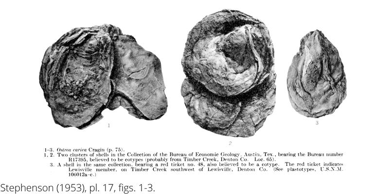 <i> Ostrea carica </i> from the Cenomanian Woodbine Fm. of Texas (Stephenson 1953).