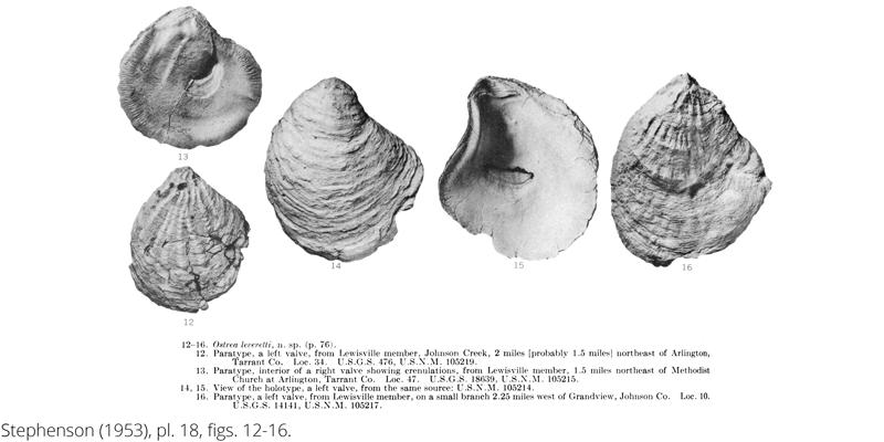 <i> Ostrea leveretti </i> from the Cenomanian Woodbine Fm. of Texas (Stephenson 1953).