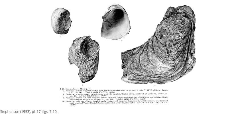 <i> Ostrea soleniscus </i> from the Cenomanian Woodbine Fm. of Texas (Stephenson 1953).