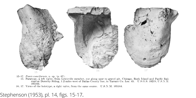 <i> Panis cuneiformis </i> from the Cenomanian Woodbine Fm. of Texas (Stephenson 1953).