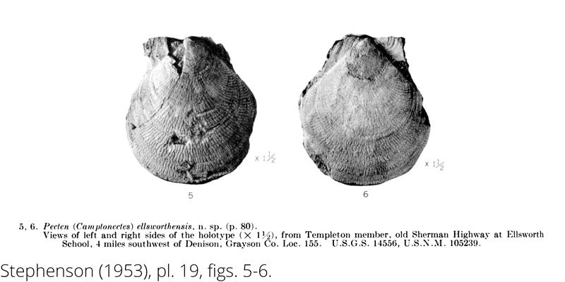 <i> Pecten ellsworthensis </i> from the Cenomanian Woodbine Fm. of Texas (Stephenson 1953).