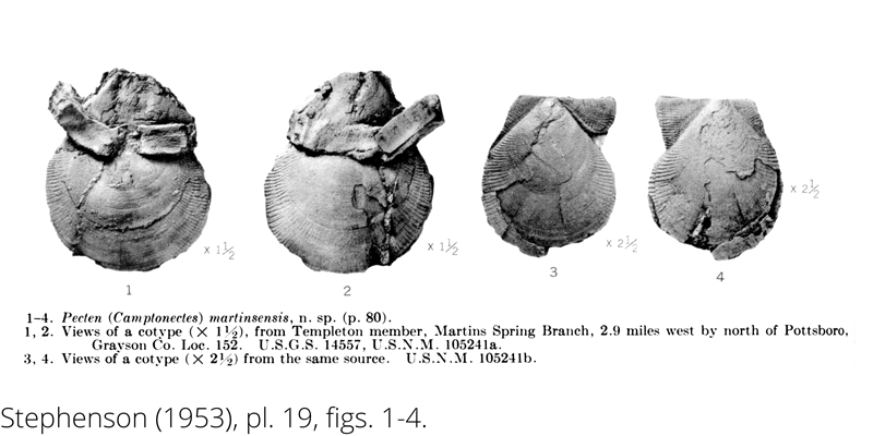 <i> Pecten martinsensis </i> from the Cenomanian Woodbine Fm. of Texas (Stephenson 1953).