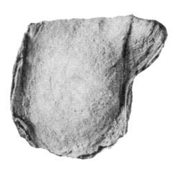 Phelopteria timberensis