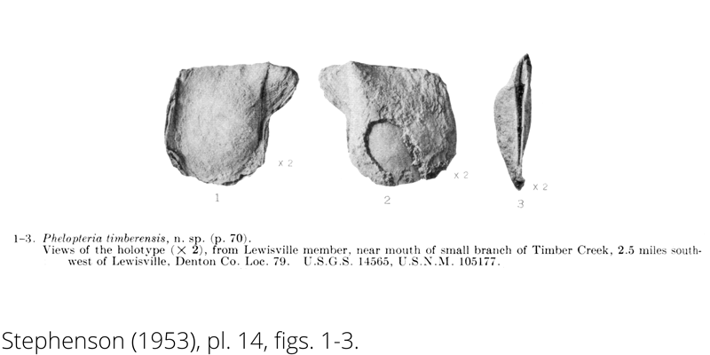 <i> Phelopteria timberensis </i> from the Cenomanian Woodbine Fm. of Texas (Stephenson 1953).