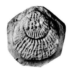 Plicatulidae