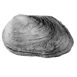 Protarca tramitensis
