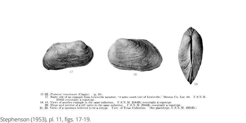 <i> Protarca tramitensis </i> from the Cenomanian Woodbine Fm. of Texas (Stephenson 1953).