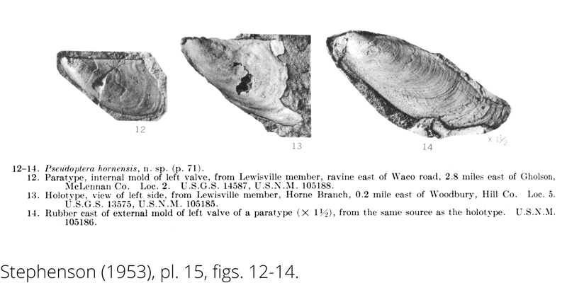 <i> Pseudoptera hornensis </i> from the Cenomanian Woodbine Fm. of Texas (Stephenson 1953).