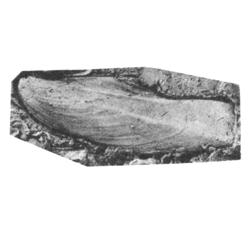 Pseudoptera rushana