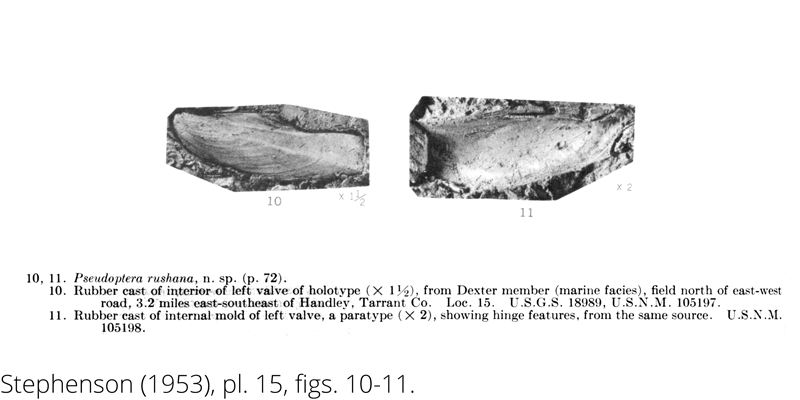 <i> Pseudoptera rushana </i> from the Cenomanian Woodbine Fm. of Texas (Stephenson 1953).