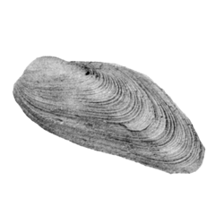 Volsella alveolana