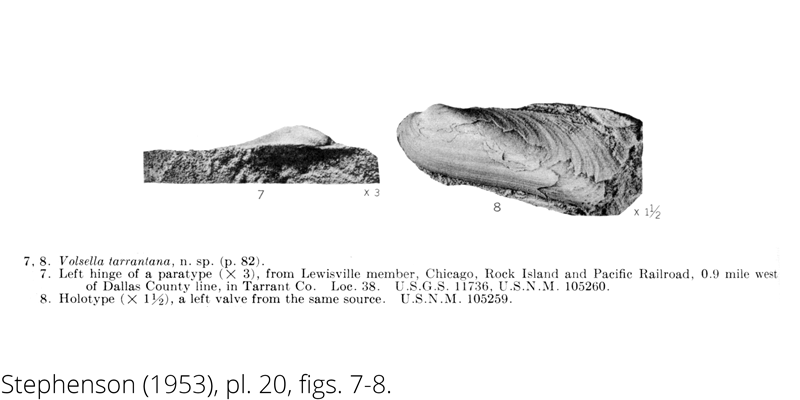<i> Volsella tarrantana </i> from the Cenomanian Woodbine Fm. of Texas (Stephenson 1953).