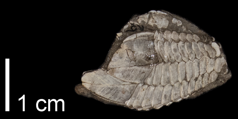 <i> Stramentum elegans </i> from the Late Cretaceous Carlile Shale Fm. of Osborne County, Kansas (FHSMIP 788).