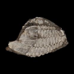 Stramentum elegans