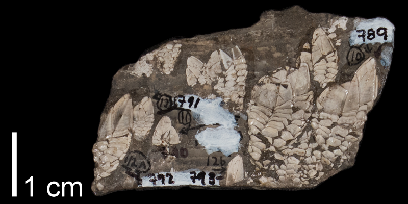 <i> Stramentum elegans </i> from the Late Cretaceous Carlile Shale Fm. of Osborne County, Kansas (FHSMIP 789).